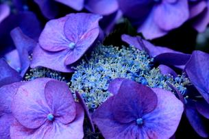 額紫陽花の写真素材 [FYI00736685]