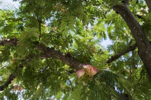 合歓の木の花の写真素材 [FYI00736859]