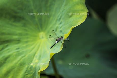 蓮の葉とシオカラトンボの写真素材 [FYI00737038]
