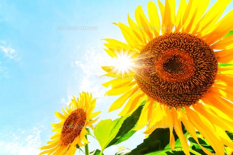 向日葵と太陽光の写真素材 [FYI00737169]