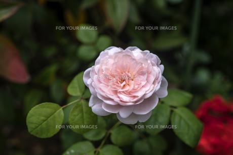 白色の薔薇の写真素材 [FYI00737275]