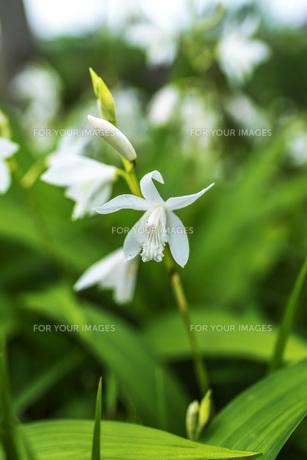 白色の紫蘭の写真素材 [FYI00737291]