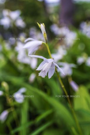 白色の紫蘭の写真素材 [FYI00737293]