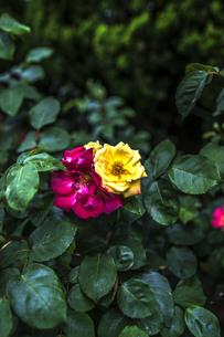 雨に濡れた薔薇の写真素材 [FYI00737303]