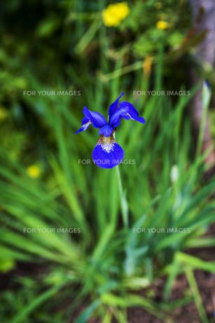 アヤメの花の写真素材 [FYI00737305]