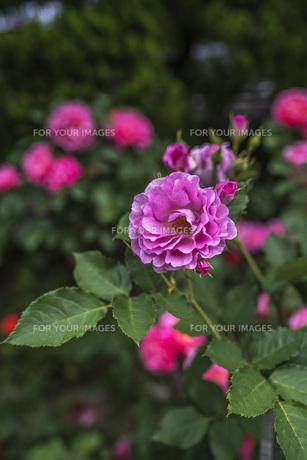 雨上がりのピンクの薔薇の写真素材 [FYI00737306]