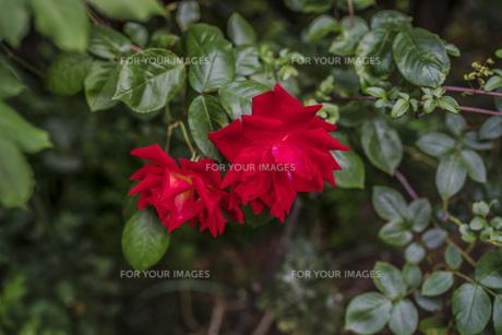 雨の日の赤い薔薇の写真素材 [FYI00737308]