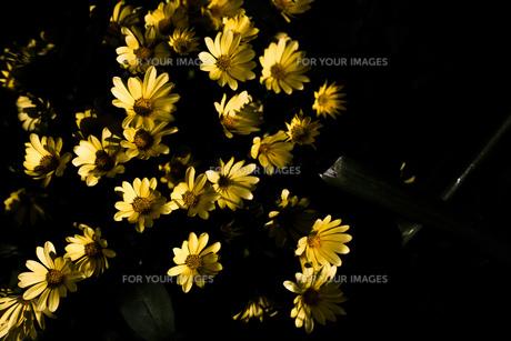 暗闇の中の花の写真素材 [FYI00737406]