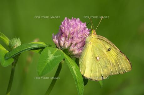 モンキチョウ紫色の花左向きの写真素材 [FYI00737624]