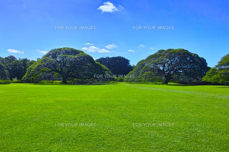 モンキーポッドと芝生の写真素材 [FYI00737632]