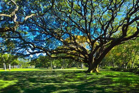モンキーポッドの枝の写真素材 [FYI00737641]