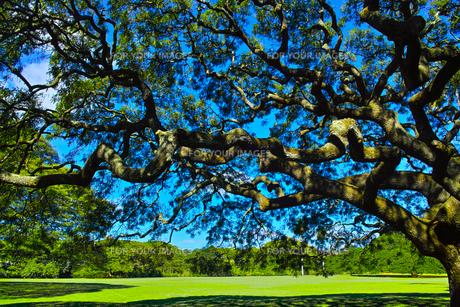 モンキーポッドの枝の写真素材 [FYI00737642]