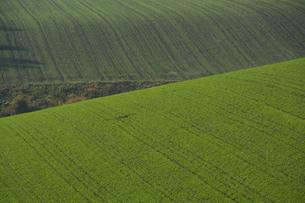 夕暮れの秋蒔き小麦の畑の写真素材 [FYI00737701]
