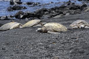 ウミガメの甲羅干し - プナルウ黒砂海岸,ハワイ島 -の写真素材 [FYI00737716]