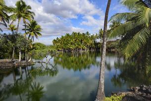 池のほとりに茂る椰子の群生 - ハワイ島 -の写真素材 [FYI00737830]
