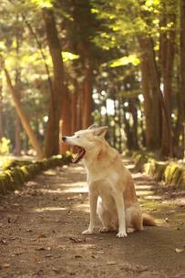 秋の森を散歩する犬の写真素材 [FYI00737832]