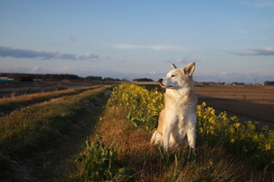夕暮れに遠くを見つめる犬の写真素材 [FYI00737836]