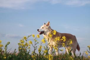 笑顔の犬と青空と菜の花の写真素材 [FYI00737837]