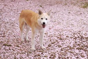 桜の花びらの上に佇む笑顔の犬の写真素材 [FYI00737843]