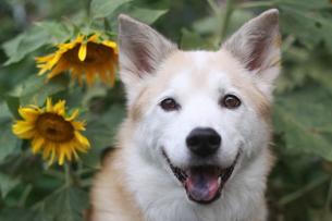 笑顔で見つめる犬とヒマワリの写真素材 [FYI00737846]