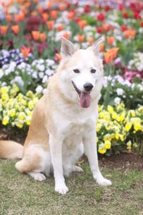 笑顔で見つめる犬と春の花の写真素材 [FYI00737848]