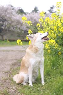 笑顔の犬と満開の桜と菜の花の写真素材 [FYI00737850]