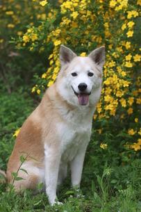 笑顔で見つめる犬とヤマブキの花の写真素材 [FYI00737851]