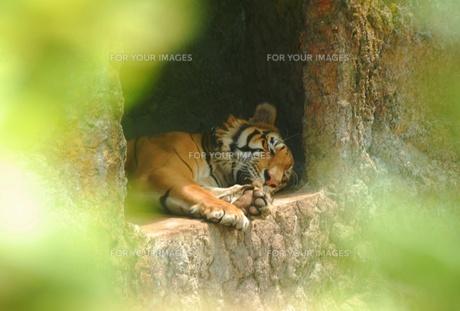 ライオンもお昼寝の写真素材 [FYI00737989]