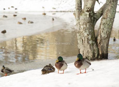 winterの素材 [FYI00738366]