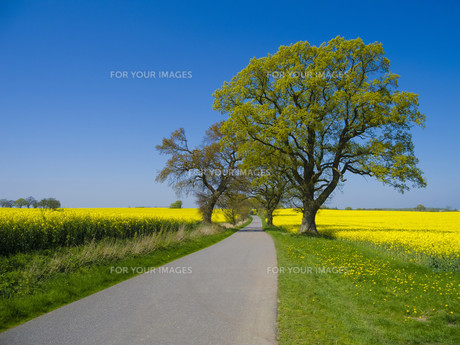 highway with trees by a rape fieldの写真素材 [FYI00739029]