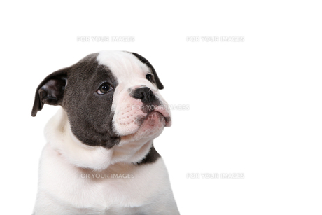 old olde english bulldog puppy looking to the rightの写真素材 [FYI00739260]