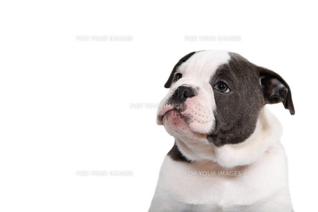 old,olde english bulldog puppy looking to the leftの写真素材 [FYI00739265]
