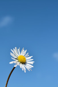 daisies and blue sky in springの写真素材 [FYI00740485]