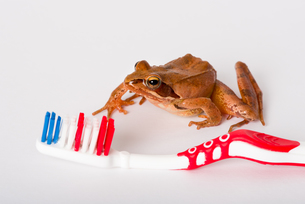Don´t be a Frog, brush your teeth. Frog discovering a toothbrush. It´s a spring frog (Rana dalmatina).の写真素材 [FYI00741391]