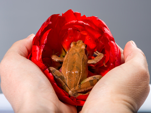 Two Hands holding a Frog, that sits in the blossom of a red tulipの写真素材 [FYI00741416]
