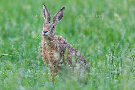 hareの素材 [FYI00742700]