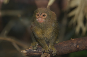 pygmy marmosetの写真素材 [FYI00742800]