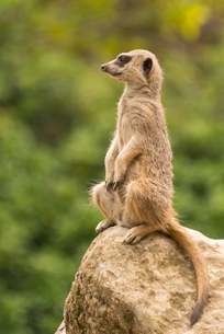 Slender-tailed meerkat sitting watchfully up on rockの素材 [FYI00742803]