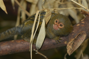 pygmy marmosetの写真素材 [FYI00742807]