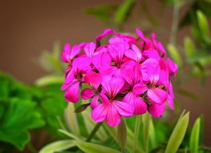 Beautiful primrose flower among green leaves in the garden.の写真素材 [FYI00742913]