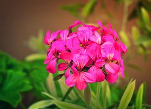Beautiful primrose flower among green leaves in the garden.の写真素材 [FYI00742936]