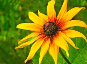 Big beautiful flower with yellow petals.の写真素材 [FYI00742963]