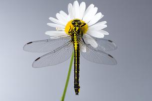 dragonfly (western clubtail) sitting on a margueriteの写真素材 [FYI00743904]