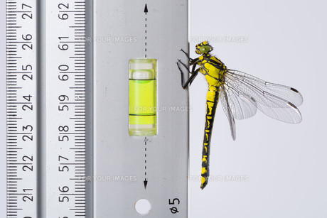 dragonfly (western clubtail) loves the spirit level on a rulerの写真素材 [FYI00743908]