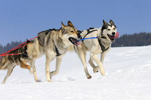 sportive dogsの素材 [FYI00744036]