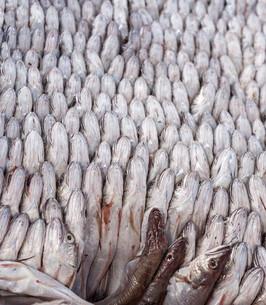 Fresh fishの写真素材 [FYI00744475]
