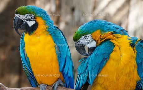 Pretty Macaw Parrotsの写真素材 [FYI00744721]