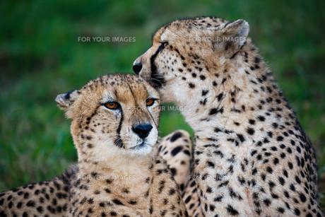 Cheetah Wild Cat Pairの写真素材 [FYI00744728]