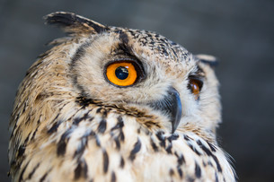 Korean Eagle Owlの写真素材 [FYI00744731]