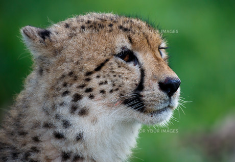 Cheetah Portrait on Green Backroundの写真素材 [FYI00744732]